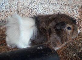 guinea pig boars