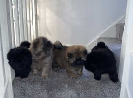 Stunning Grey / Chocolate Brown / Black Chow Chow Puppies