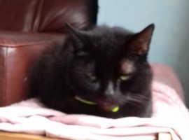 Lovely Black friendly bombay cat..