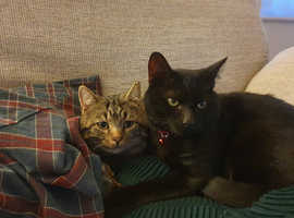 2 cats echo and memphis echo 2 , memphis 1 and a bit , both lovely boys and very sad to be losing them , they must go together as they have a strong ,
