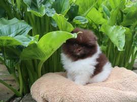 Unique Rare Color Mini Pomeranian -like A Bear