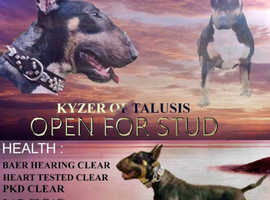 Kyzer fully health tested (stud only read add )