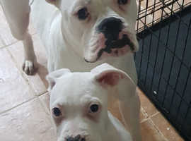 American bully puppies for sale REDUCED
