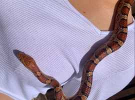 Super friendly corn snake