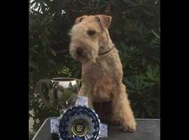 Rare kc reg Lakeland Terrier available for stud, Great temperament, excellent pedigree.