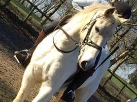14.2hh grey mare