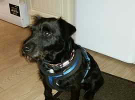Patterdale 2 year old Male