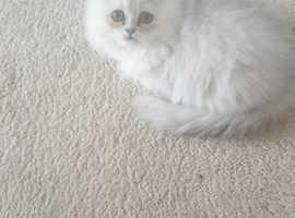 Pedigree chinchilla kittens