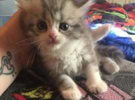 Family Train Munchkin Kittens
