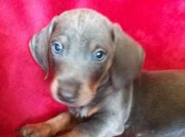 Stunning rare blue and tan dashounds puppies