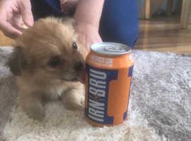 Tiny pups