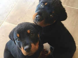 Stunning Rottweiler puppies for sale