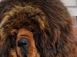 Tibetan mastiff STUD