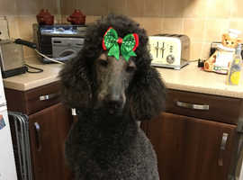 Beautiful standard poodle shadow bitch
