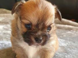5 beautiful PomChi puppies