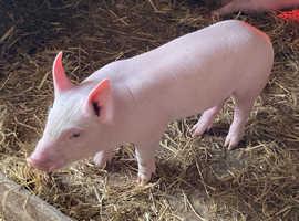 Weaned piglets
