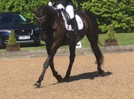 Lovely allrounder/Riding Club horse