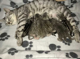 GCCF Silver Spotted and Silver Tabby kittens