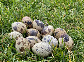 Fertilised japanese jumbo Quail eggs