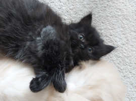 One  fluffy Persian 1 boys looking for new home