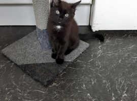 Black and white Male kitten
