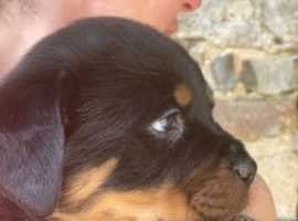Proper Full Trained Adrk Rottweiler Puppies with Pure Quality Size Ready ON the 10 Of April