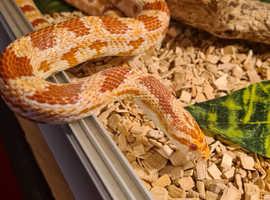 Viv with Amil Corn Snake