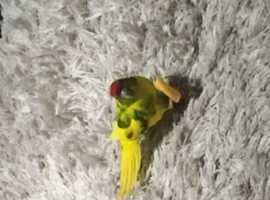 Wanted - parrot/cockatiel/budgie - not aviary