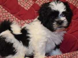 Attentive and affectionate Shih Tzu Puppies for sale