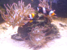 2clownfish complete with their anenome and rock home