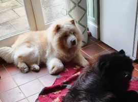 Two Stunning Chow Chows Boy and Girl Kennel Club Registered