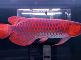 Arowana fishes of many others available