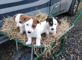 SOLD  Fantastic example of Jack Russell puppies