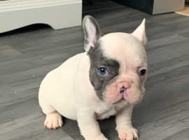 French bulldog puppies DWKC registered