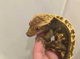 Harlequin Male Crested Gecko