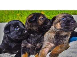 DDR Czech Shepherd X Belgian Shepherds