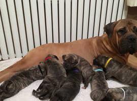 English Bullmastiff pups for sale