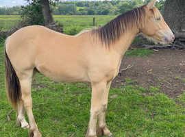 Quarter horse x cob. Champagne colour
