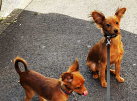 Longhair Russian toy terrier male and female puppies