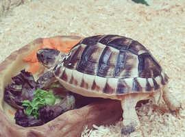Marginated tortoise.
