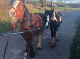 horse for sale - benji