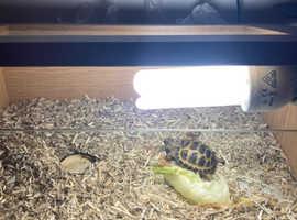 8 month old hermanns tortoise