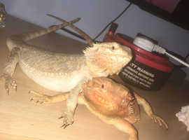 2 bearded dragons *WITH FULL SET UP*