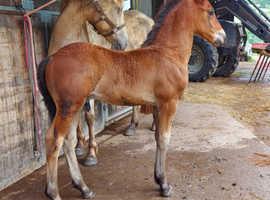 68.25% friesian colt foal