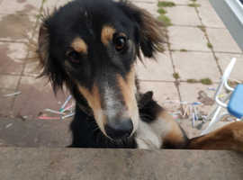 Saluki boy 11 month old out of benjy breed