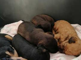 Lakeland/Patterdale terrier puppies