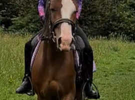 Calm honest dressage/show prospect beautiful paces