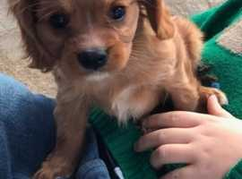 Beautiful ruby cavapoo puppies for sale