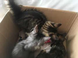 Litter of four very cute kittens