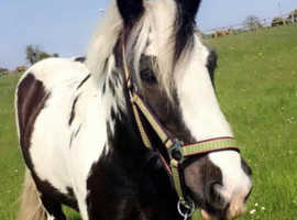 Super safe cob gelding 13.1